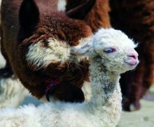 The Alpaca family: Foal Heidi enjoys getting caressed by Mother Rosi. Foto: TPBO